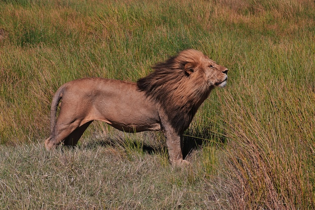 Lion on safari in kenia and tanzania, africa