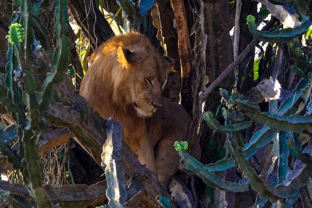 Лев сидит посреди деревьев возле кактусов