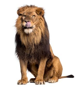 白に孤立して座っているライオン