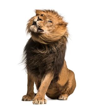 Лев сидит, изолированные на белом фоне