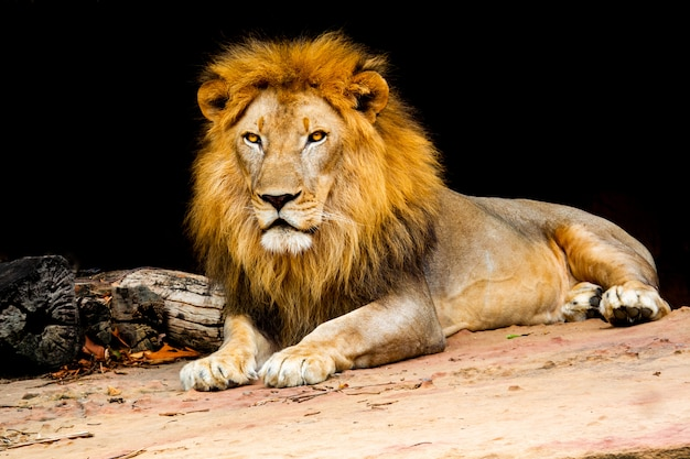 Lion on stone nature, lion is mammal wildlife type of cat