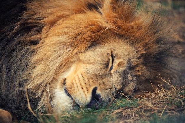Лев лежал на земле
