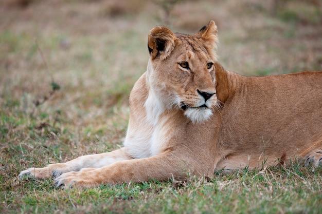 Живая природа львов в кении