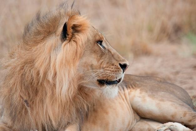 Lion wildlife in kenya