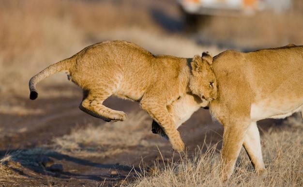 Львица и ее детеныши играют друг с другом в саванне. национальный парк. кения. танзания. масаи мара. серенгети.
