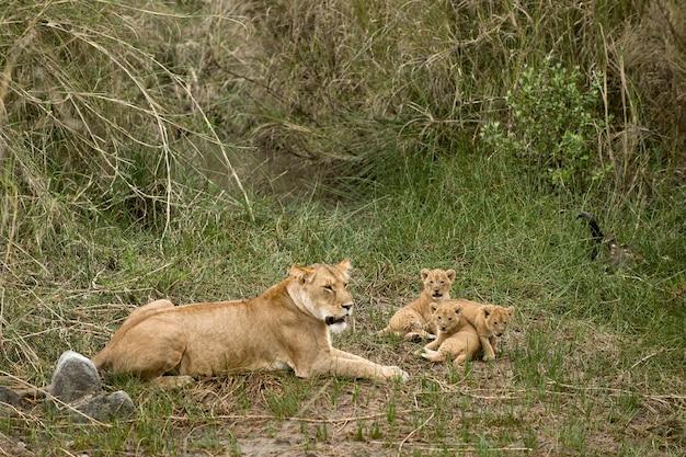 Львица и ее детёныши в серенгети, танзания, африка