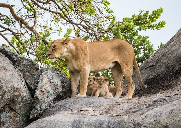 Львица и ее детеныши на большом камне.