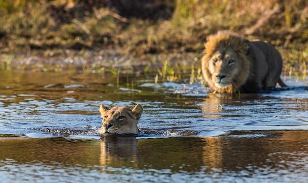 Львица и лев плывут по болоту