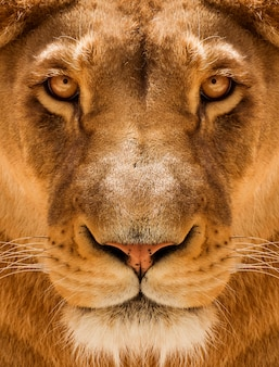 Lioness close-up portrait, face of a female lion