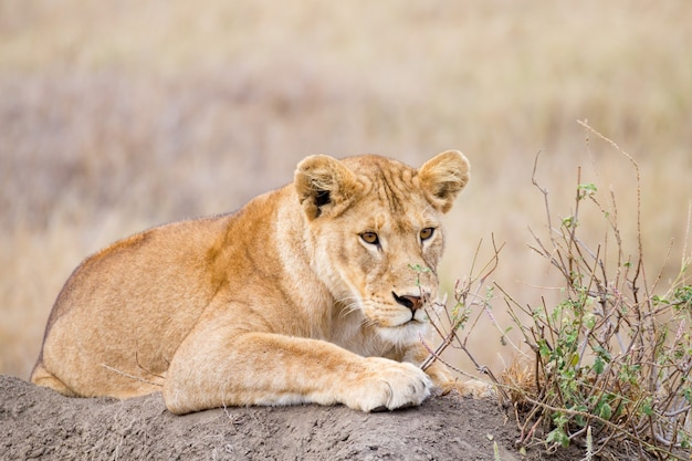 Львица крупным планом. национальный парк серенгети, танзания. африканская дикая природа