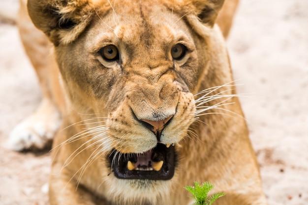 雌ライオンパンテーラレオの雌ライオンのクローズアップの肖像画の顔