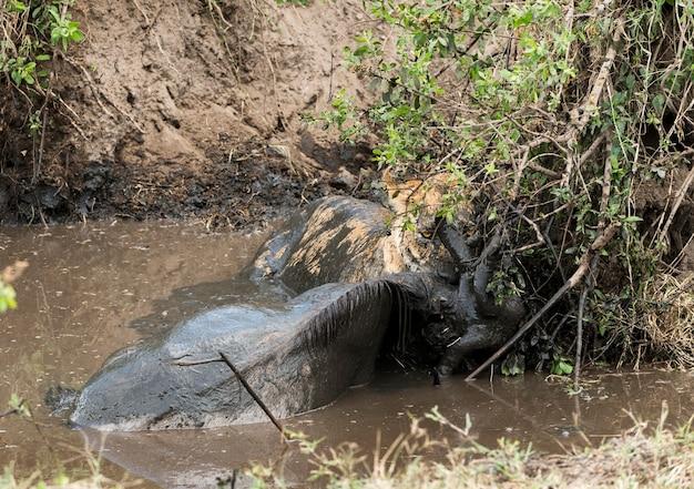 泥だらけの川、セレンゲティ、タンザニア、アフリカで獲物を保持している雌ライオン