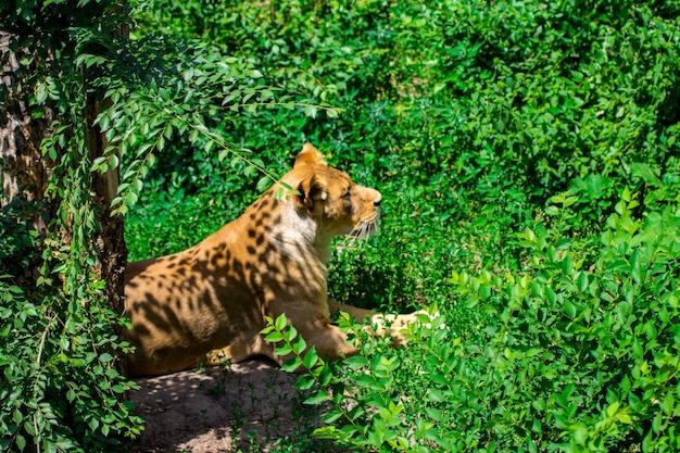 Львица в траве.