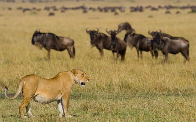 Львица в саванне. национальный парк. кения. танзания. масаи мара. серенгети.