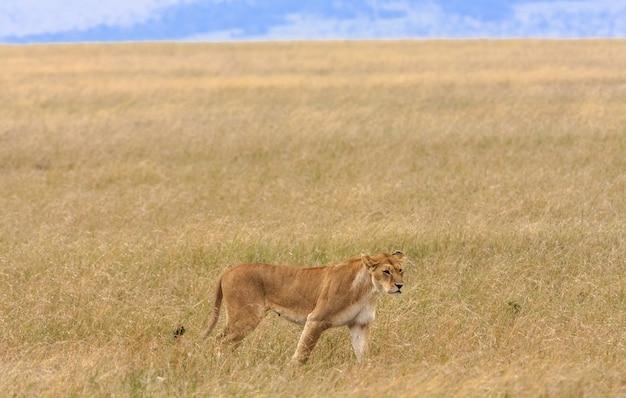 ケニアのマサイマラ国立保護区のサバンナの雌ライオン