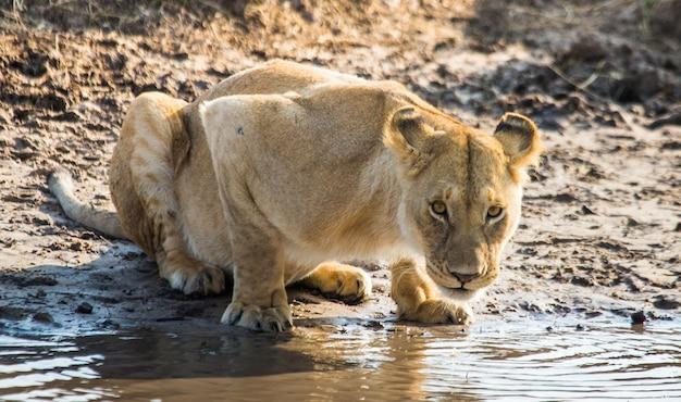Львица пьет воду из луж