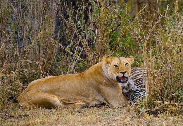 죽인 얼룩말을 먹고있는 암 사자