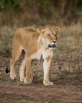 Львица отправляется в саванну. национальный парк. кения. танзания. масаи мара. серенгети.