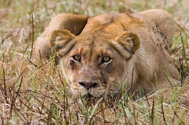 Львица лежит в траве и высматривает добычу