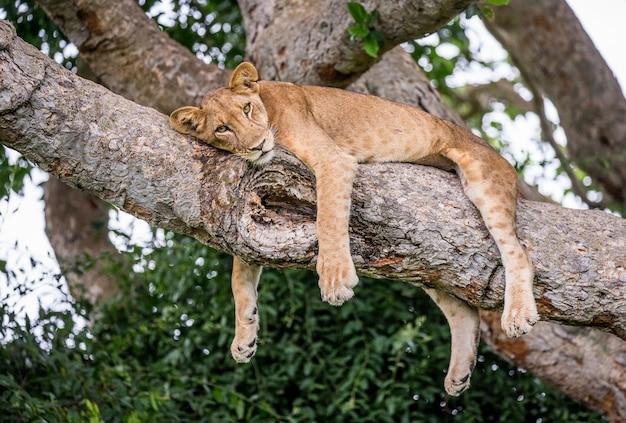 Львица лежит на большом дереве