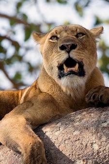 Львица лежит на ветке дерева