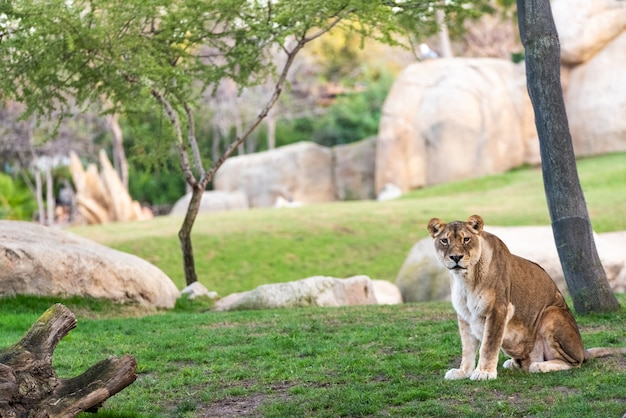 動物園でカメラを静かに見ているライオン。
