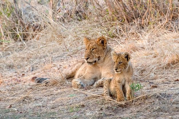 彼女の赤ちゃんと一緒に地面に横たわっている雌ライオン