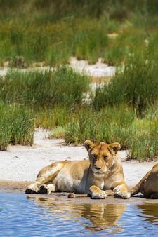 Львица на песчаном берегу. львиная гордость серенгети. африка