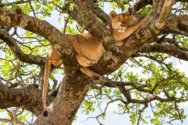 ケニアのマサイマラ国立保護区の木の雌ライオン。動物の野生生物。