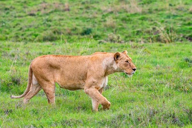 ライオンまたはパンテーラレオは緑のサバンナを歩きます