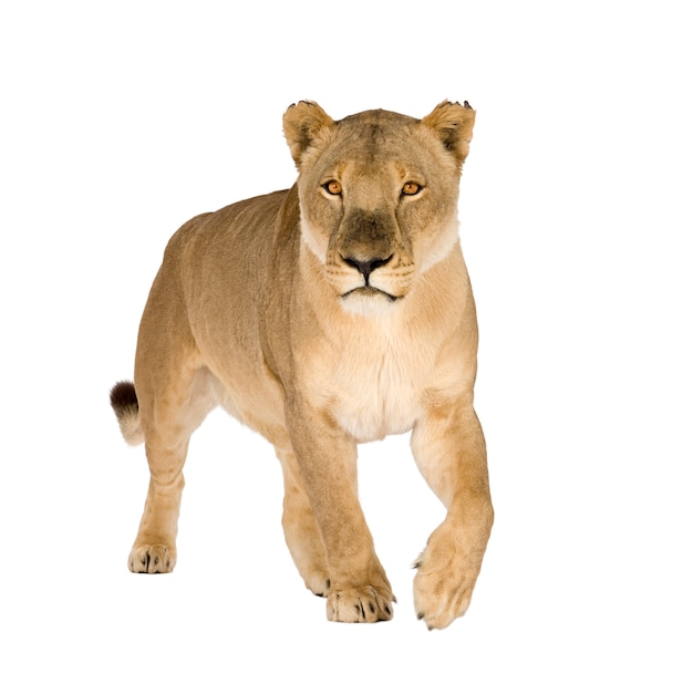 Lioness, panthera leo on a white isolated