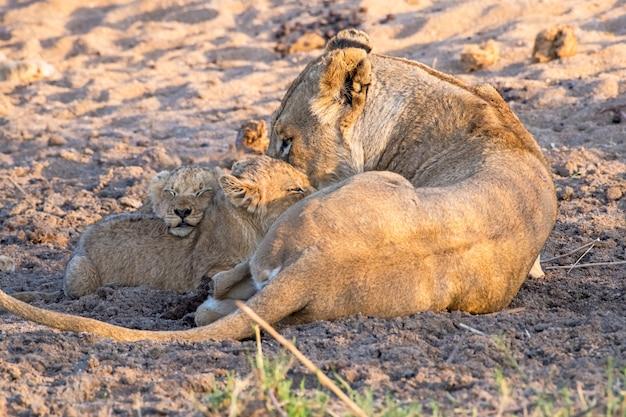 彼女の赤ちゃんと遊ぶライオン