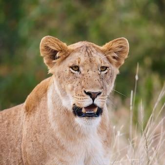 ケニアのマサイマラ国立公園の雌ライオンの肖像画。動物の野生生物。