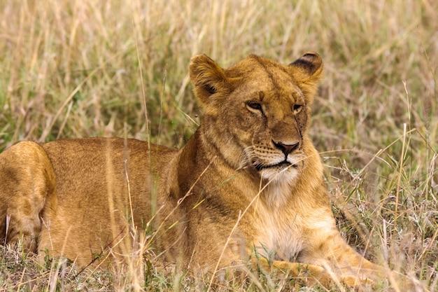 草の上で休んでいる雌ライオン。ケニア、アフリカ