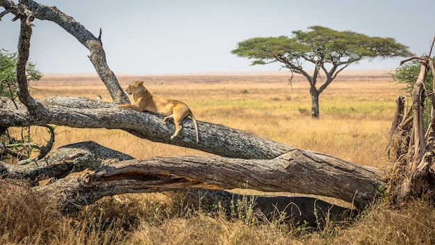 Lioness resting on a tree, at serengeti national park, tanzania