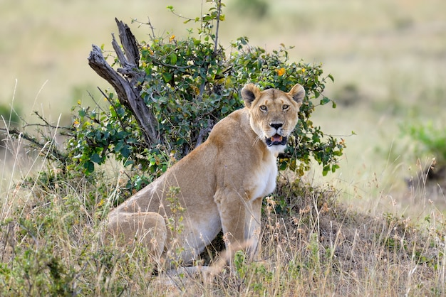 Lioness in the savannah
