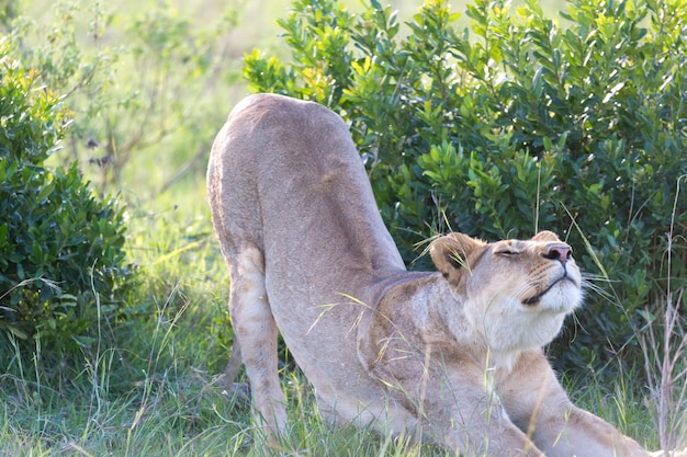 Lioness stretches out after a long lie