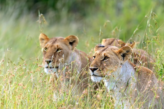 Lioness walking her five cubs through kenya's masai mara