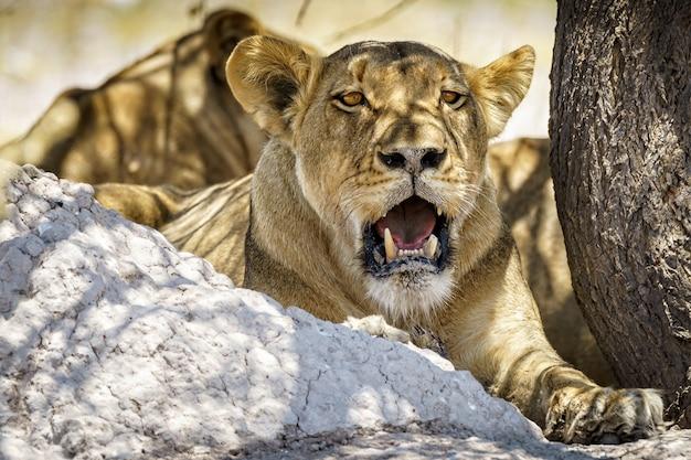 折れた歯を持つ雌ライオン
