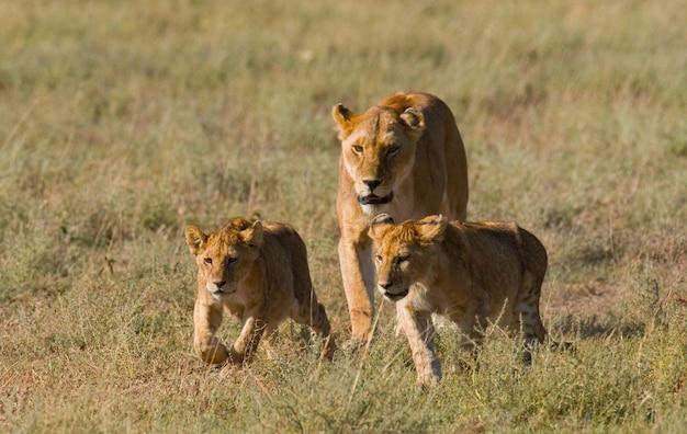 Львица с детенышами в саванне
