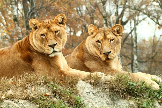 Lionesses at the safari zoo
