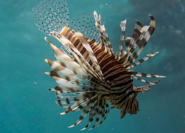 海で泳ぐpteroisvolitansとして知られるミノカサゴ