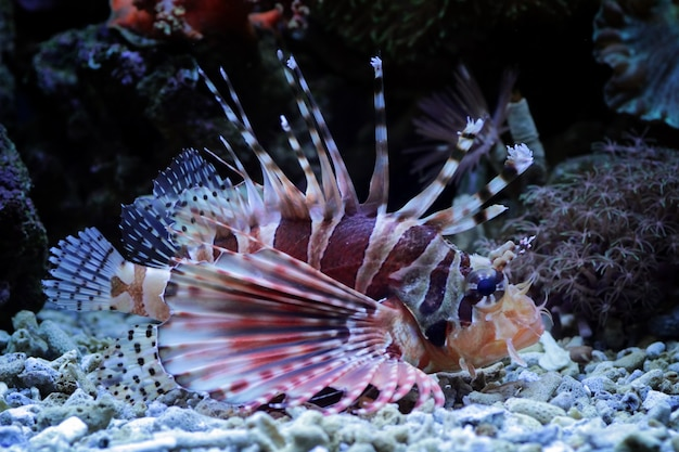サンゴ礁のミノカサゴ