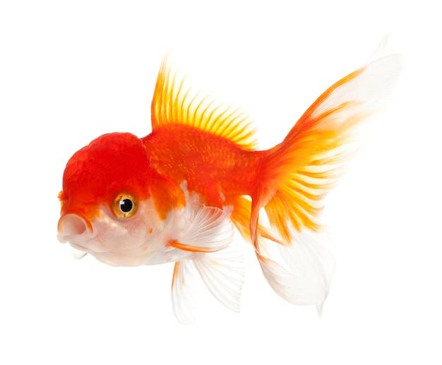 Львиноголовая золотая рыбка carassius auratus перед белым фоном