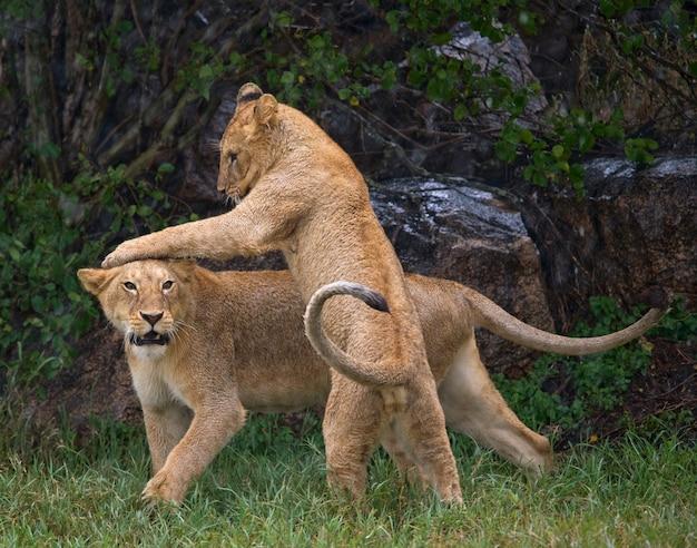 Львы играют друг с другом. саванна. национальный парк. кения. танзания. масаи мара. серенгети.
