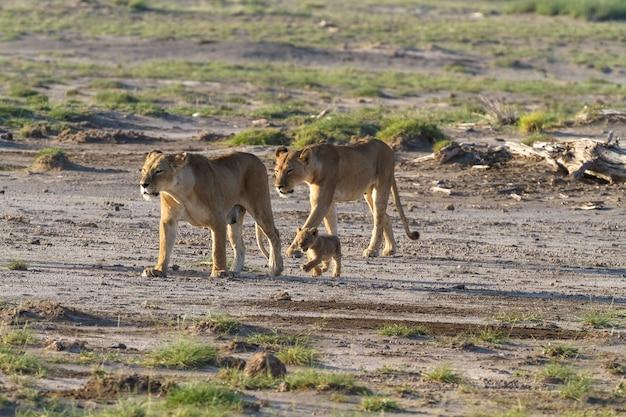 Семья львов в саванне в кении