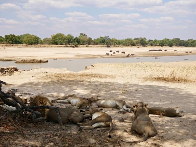 Львы в национальном парке южная луангва - замбия