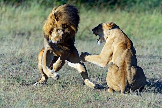 アフリカのサバンナの自然生息地にいるライオンズ。ケニア。