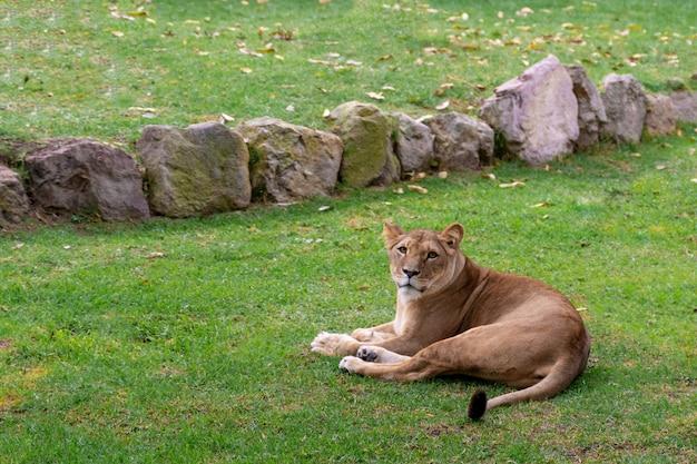草、自然、野生動物で休むライオン。