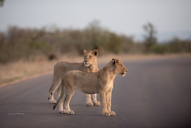 Leoni che camminano sulla strada con uno sfondo sfocato
